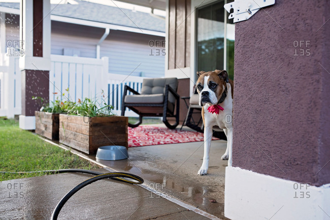 Dog peeks warily out at edge of wet sidewalk