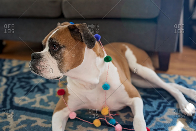 Dog wearing garland of colorful pom poms