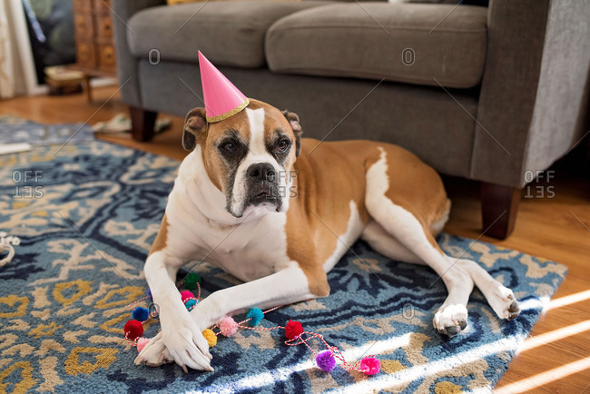 Dog wearing a party hat with string of pom poms for a birthday celebration