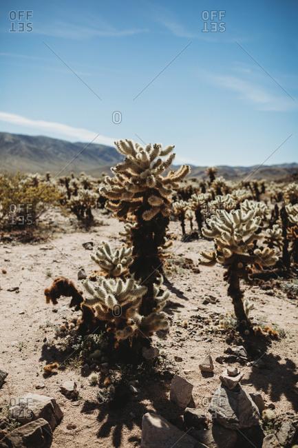 Desert landscape in Joshua Tree National Park