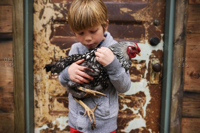 Young boy holding backyard chicken
