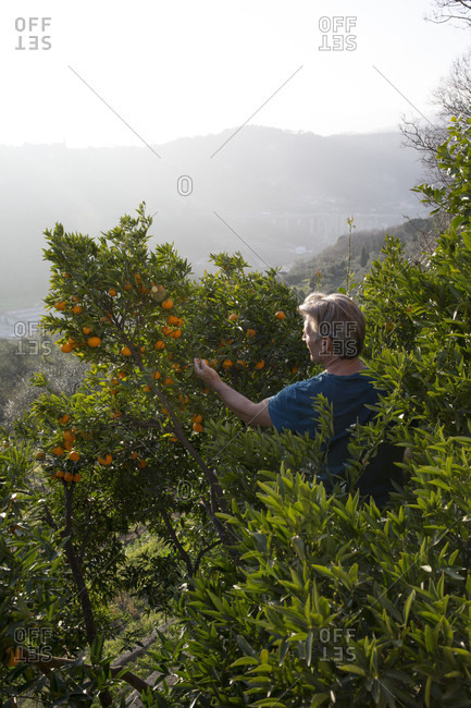 Man harvests oranges from orchard