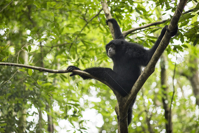 Sumatran Siamang In The Forest, Bukit Lawang, Sumatra, Indonesia