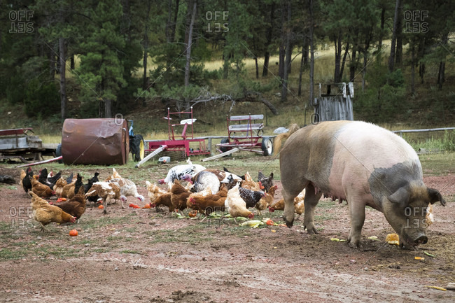Flock Of Chickens And Pig On Ranch
