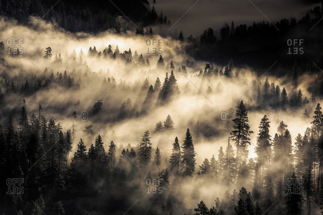 High Angle View Of Fog Through The Pine Forest
