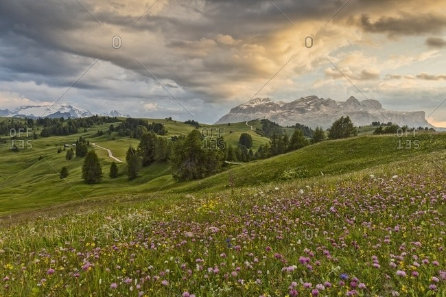 Flowery meadow in Pralongia, in the background Marmolaga and Sella mountain, Badia Valley, Dolomites, South Tyrol, Italy