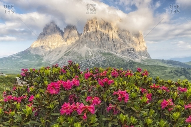 Rhododendrons flowering at Sella Pass towards Sassolungo (Langkofel) Mountain, Dolomites, South Tyrol, Italy