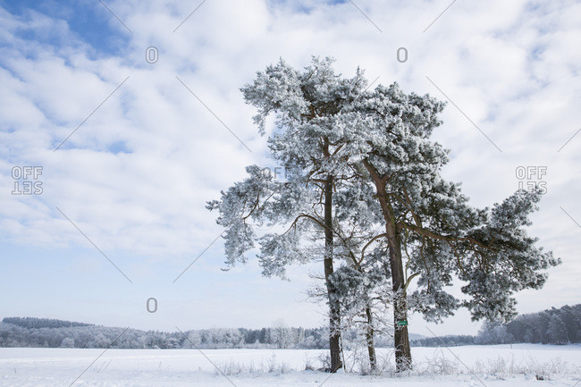 Lone pine tree covered in snow in a winter wonderland landscape between Voehl and Marienhagen, near Vohl, Hesse, Germany, Europe