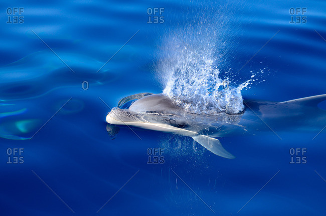 A bottlenose dolphin (Tursiops truncatus) breathing out through his blowhole, Mallorca, Balearic Islands, Spain, Europe
