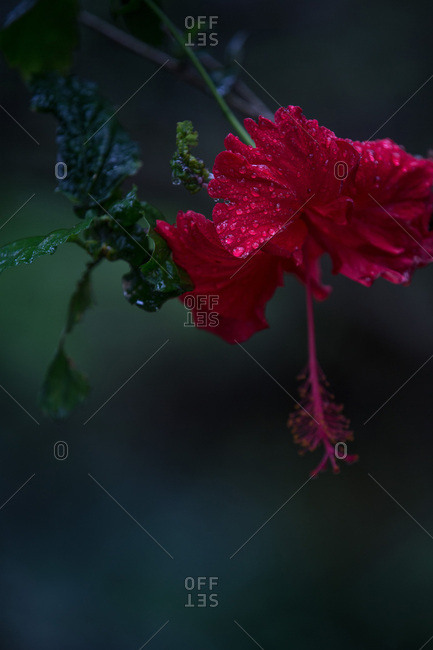 Beautiful flower with raindrops, Sao Tome, Sao Tome and Principe, Africa