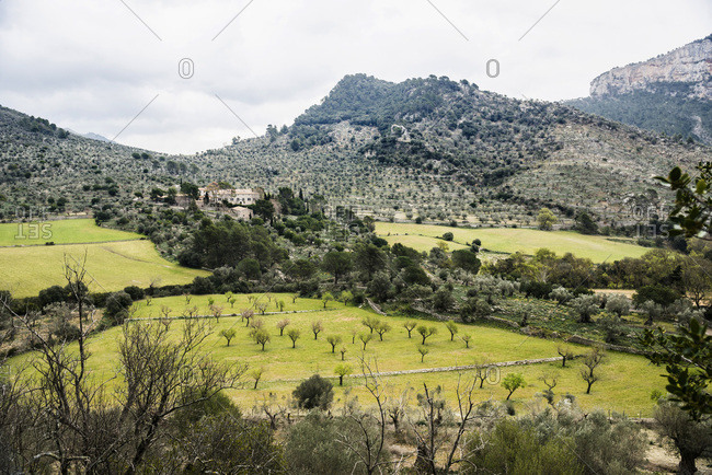 Olive trees, near Alaro, Majorca, Balearic Islands, Spain