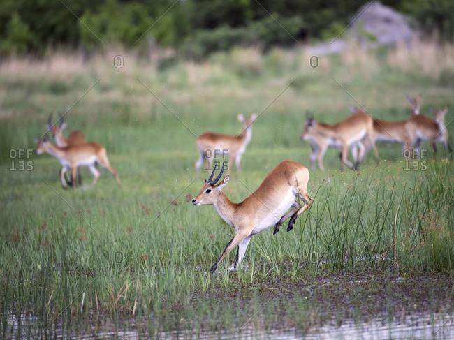 Leaping leche antelope splashing through swamp.