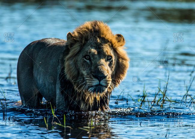 A lion, Panthera leo, standing in water in Botswana's Okavango Delta.
