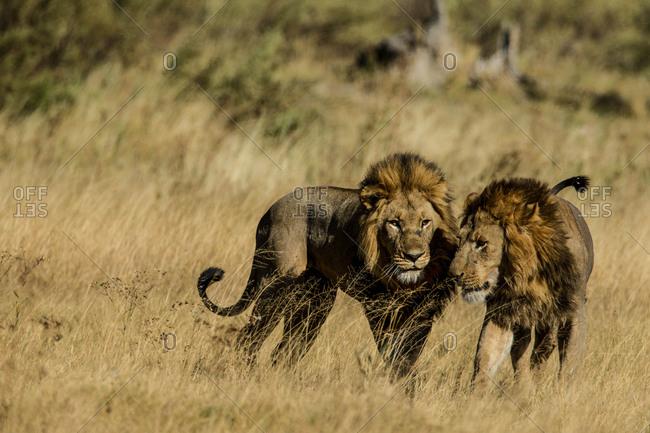 Two male lions, Panthera leo, in Botswana's Okavango Delta.