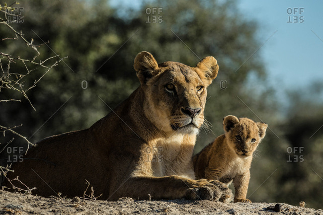 A lioness, Panthera leo, resting with her cub in Botswana's Okavango Delta.