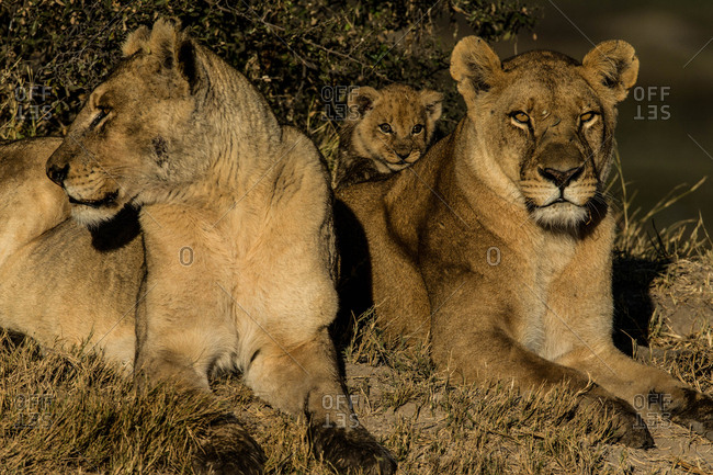 Two female lions, Panthera leo, and a cub resting in Botswana's Okavango Delta.