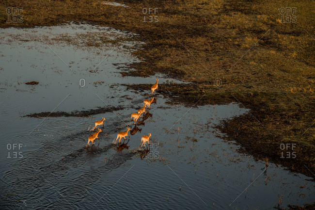 A herd of antelopes crossing the flooded plain in Botswana's Okavango Delta.