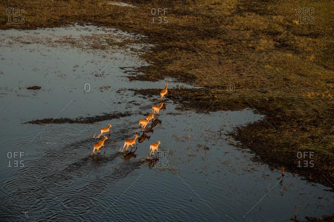 A herd of antelopes crossing the flooded plain in Botswana's Okavango Delta.