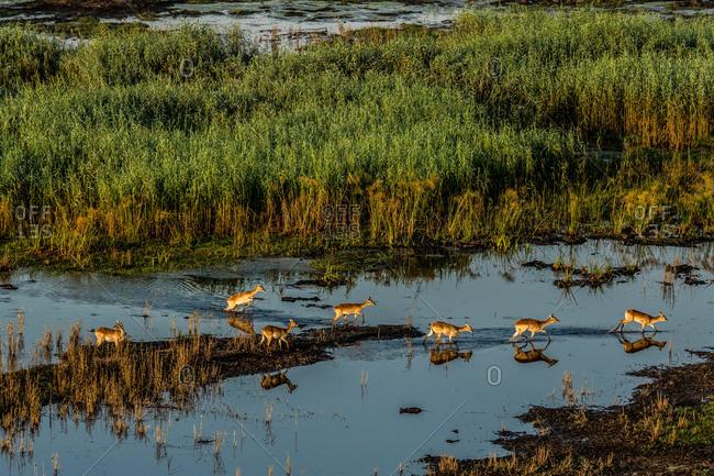 A herd of antelopes walking across a flooded plain in Botswana's Okavango Delta.