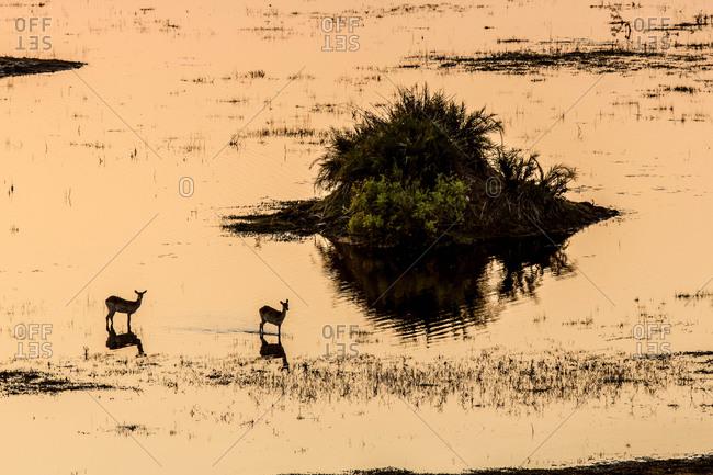 Antelope standing on a flooded plain in Botswana's Okavango Delta.