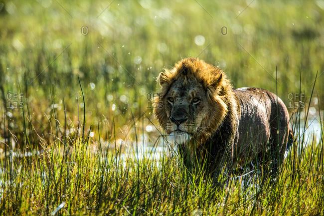 A lion, Panthera Leo, standing in a marshy wetland in Botswana's Okavango Delta.