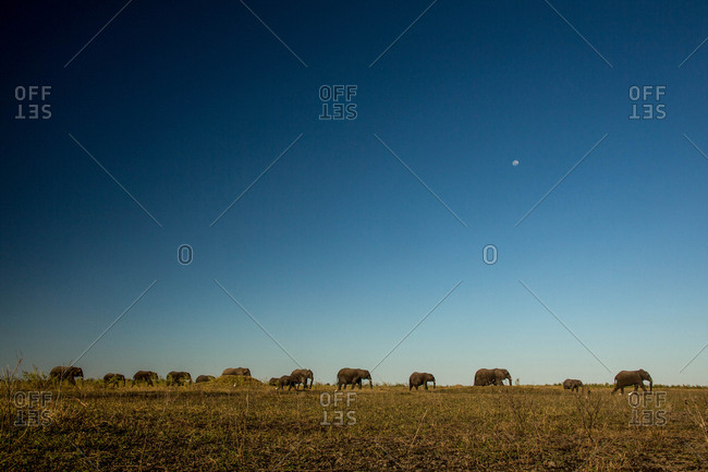 A herd of African elephants, Loxodonta africana, walking across a field in Botswana's Okavango Delta.