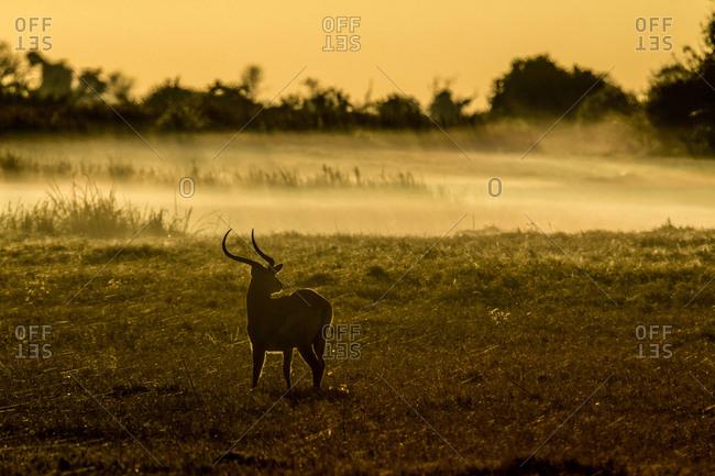 A Greater kudu, Tragelaphus strepsiceros, standing in field in Botswana's Okavango Delta.