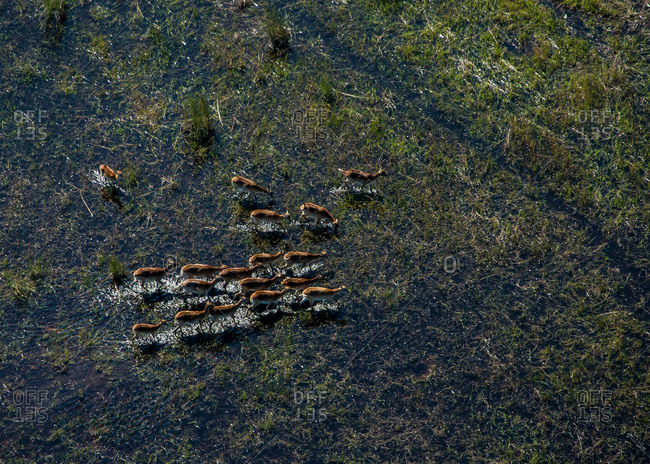 An aerial view of a group of antelope walking in a marshy wetland.
