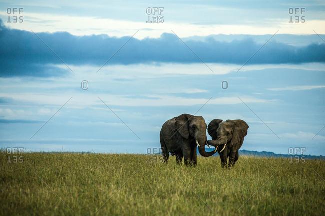 Two African elephants, Loxodonta africana, in Kenya's Masai Mara National Reserve.