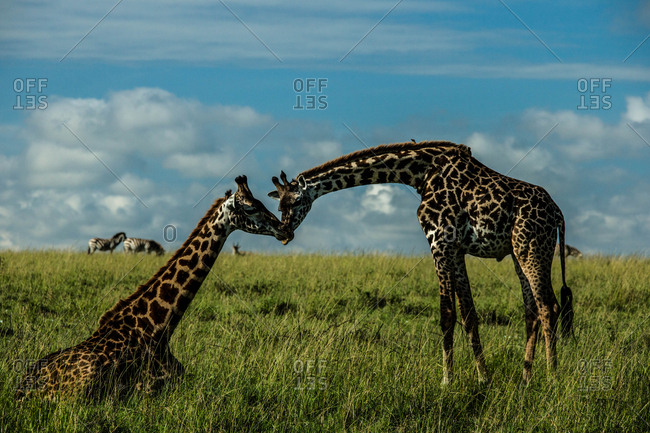Two giraffes nuzzling each other in Kenya's Masai Mara National Reserve.