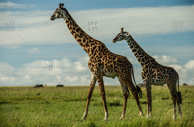 A side view of two giraffes standing in Kenya's Masai Mara National Reserve.