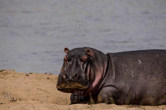 A hippopotamus, Hippopotamus amphibius, resting on a riverbank.