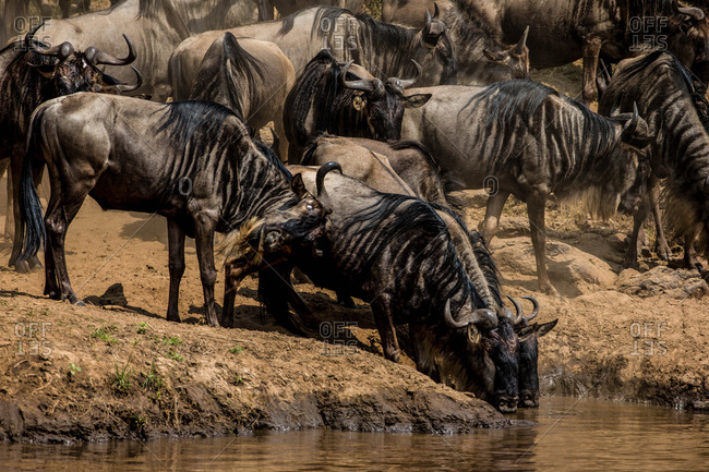 A herd of wildebeest drinking water from a river.