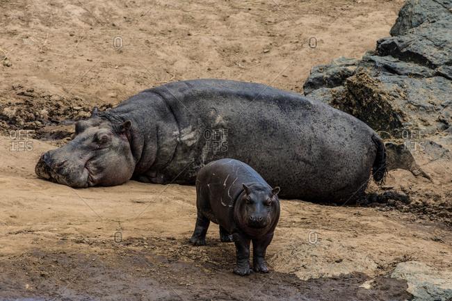 An adult hippopotamus, Hippopotamus amphibius, sleeps on a riverbank while its calf wanders nearby.