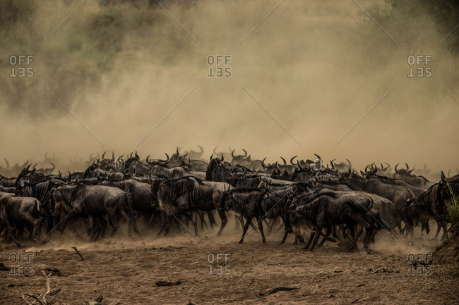 A wildebeest herd migrating in Masai Mara National Reserve, Kenya.