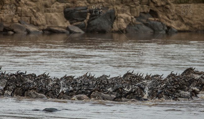 A wildebeest herd crossing a river in Masai Mara National Reserve, Kenya.