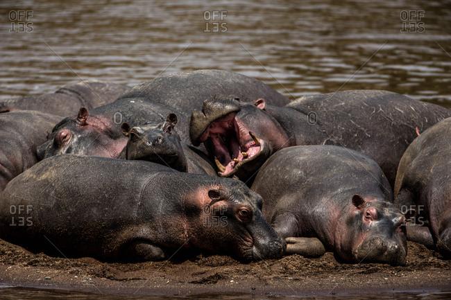 A group of hippopotamuses, Hippopotamus amphibius, resting in Kenya's Masai Mara National Reserve.