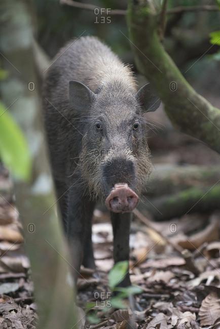 Bornean bearded pigs walk through the mangrove forest of Bako National Park, Malaysia.
