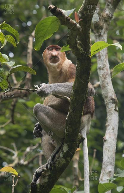 A proboscis monkey, Nasalis larvatus, on a branch in Bako National Park, on the island of Borneo, Malaysia.