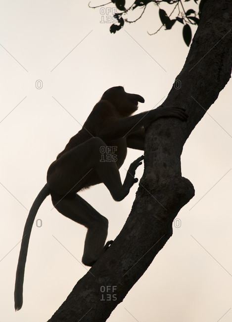 Silhouette of a proboscis monkey, Nasalis larvatus, climbing a tree in Tanjung Puting National Park on the island of Borneo, Indonesia.