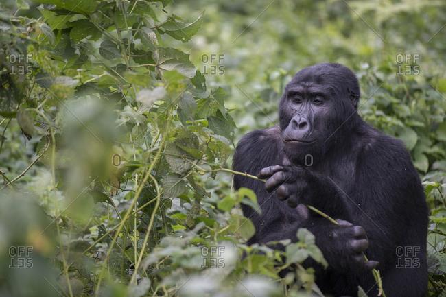 An adult mountain gorilla, gorilla beringei beringei, eating in a field of nettles.