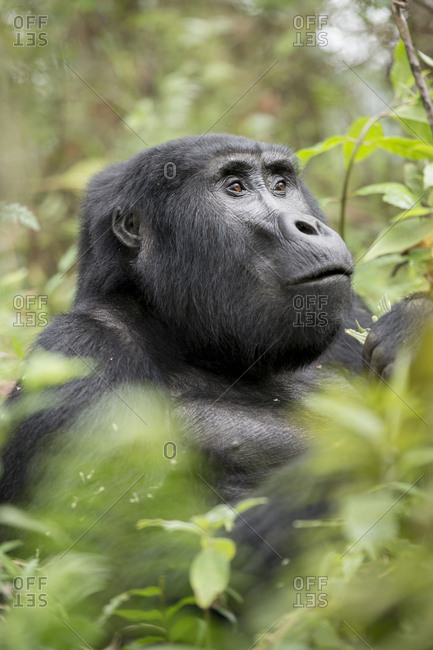 Profile of an adult mountain gorilla, gorilla beringei beringei.