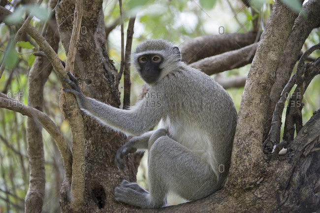 A black faced vervet monkey, Chlorocebus pygerythrus, sitting amongst some branches.