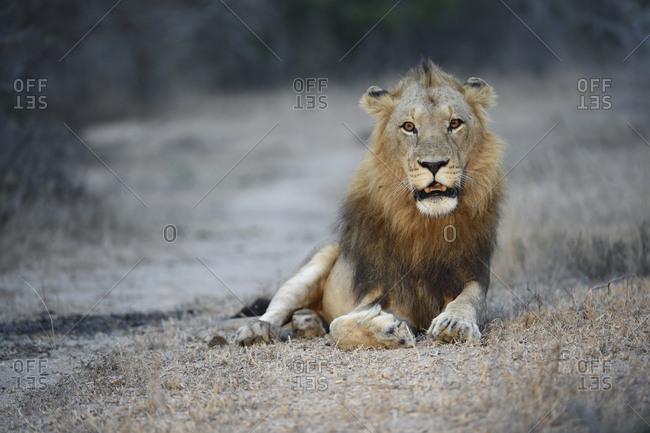 A male lion, Panthera leo, resting in Sabi Sabi Game Reserve.