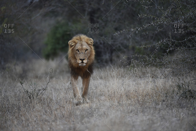 A male lion, Panthera leo, walking through the brush in early morning.