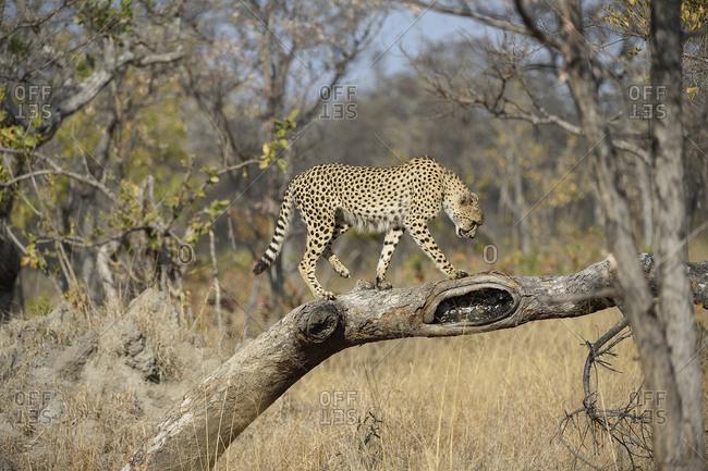 Young male cheetah, Acinonyx jubatus, standing on a fallen tree.