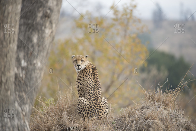 A young male cheetah, Acinonyx jubatus, sitting in Sabi Sabi Game Reserve.