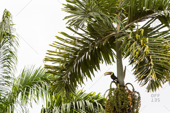In the tropical botanical gardens of Casa Orquideas, a black billed toucan is perched in a tree and grips a nut in its beak.