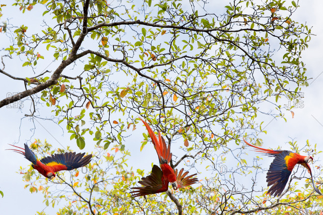 In Caletas Reserve, Osa Peninsula, three scarlet macaws take flight from a tree.
