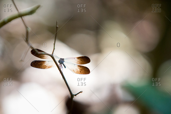 A dragonfly rests on a tree limb in Corcovado National Park.